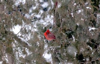 Cardinal_IMG_1405
