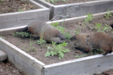 GroundHogs1_realreality productions_2016_05_01